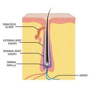 Diagram of the hair follicle