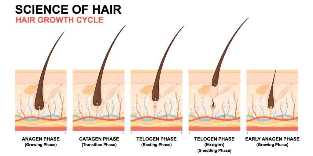 "Hair growth cycle from ""Am I Balding or Shedding?"""